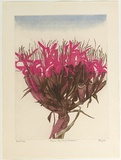 Artist: GRIFFITH, Pamela | Title: Gymea Lily (Doryanthes Excelsa) | Date: 1980 | Technique: etching, aquatint, spray resist, printed in colour, burnishing from two zinc plates | Copyright: © Pamela Griffith
