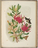 Artist: MEREDITH, Louisa Anne | Title: Waratah and native arbutus | Date: 1860 | Technique: lithograph, printed in colour, from multiple stones