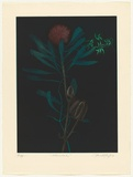 Artist: GRIFFITH, Pamela | Title: Waratah | Date: 1982 | Technique: hardground-etching, aquatint and burnishing, printed in colour, from two zinc plates | Copyright: © Pamela Griffith