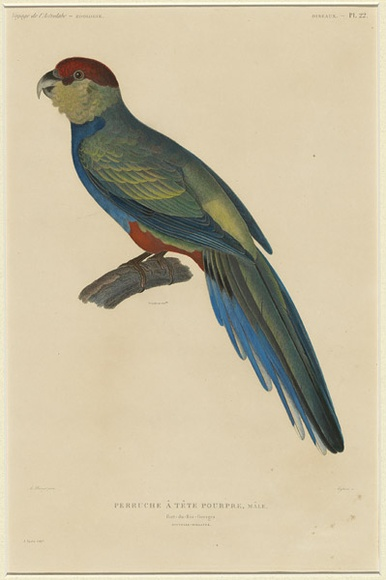 Title: La Perruche à tête pourpe, mâle.  [Parrot with crimson head, male.] | Date: 1833 | Technique: engraving, printed in black ink, from one copper plate; hand-coloured