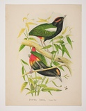 Artist: HAMEL | Title: Rainbow pitta | Technique: lithograph, printed in colour, from multiple stones [or plates]