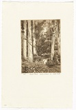 Artist: PLATT, Austin | Title: Lachlan swamp, Centennial park | Date: 1983 | Technique: etching, printed in black ink, from one plate