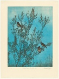 Artist: GRIFFITH, Pamela | Title: Zebra finches and Geraldton wax | Date: 1983 | Technique: hard ground, aquatint, soft ground and spray resist on two zinc | Copyright: © Pamela Griffith