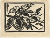 Artist: PRESTON, Margaret | Title: Native pear, Australian | Date: 1935 | Technique: woodcut, printed in black ink, from one block | Copyright: © Margaret Preston. Licensed by VISCOPY, Australia