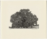Artist: ATKINS, Ros | Title: Oak | Date: 1998, July | Technique: linocut, printed in black ink, from one block